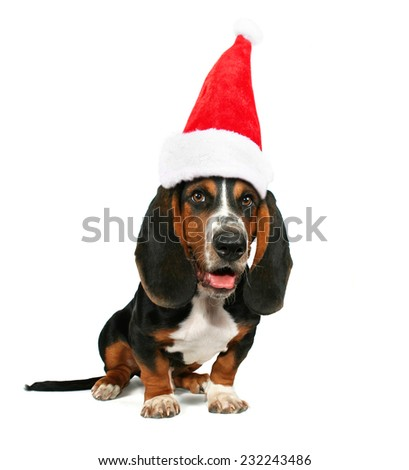a basset hound sitting down on a white background with a santa hat on for christmas - stock photo