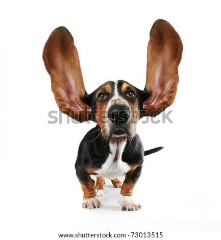 a basset hound with his ears flying away - stock photo