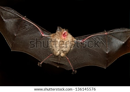 A bat flying in a cave - stock photo