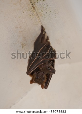 a bat with child hanging on the ceiling - stock photo