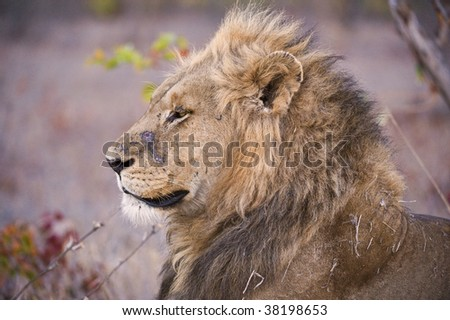 A battered old lion contemplates his future - stock photo