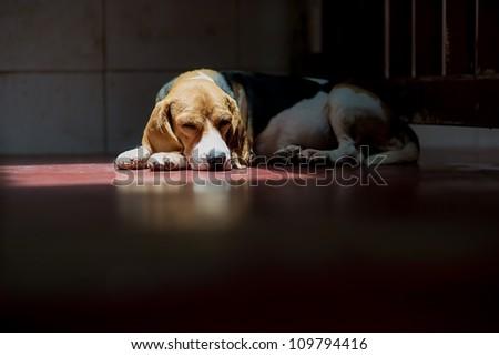 A beagle dog lying on the floor - stock photo