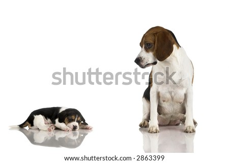 A beagle mom after is pregnancy looking to her puppy - stock photo