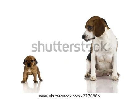 A beagle mom looking to is sun. (isolated on white with reflection) - stock photo