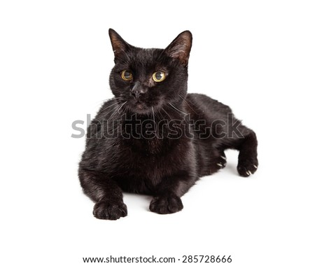 A beautiful adult black cat laying down on a white background