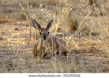 A beautiful African Steenbok sits looking at the camera - stock photo