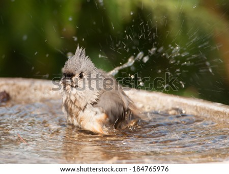 A beautiful and soaking wet Tufted Titmouse is making a mess while bathing in a Wisconsin gardens bird bath. - stock photo