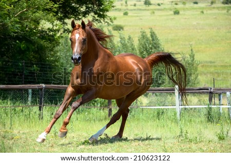 a beautiful arab stallion horse cantering with trees in the background - stock photo