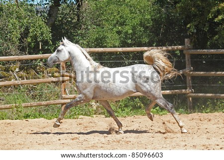 A beautiful arabian horse runs wild