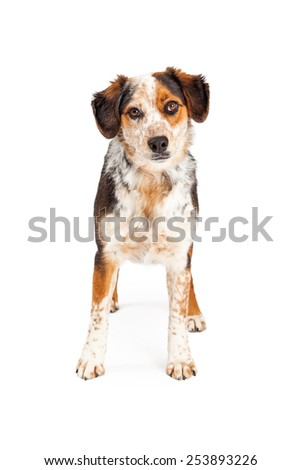 A beautiful Australian Shepherd mixed breed dog standing on a white background and looking straight forward - stock photo