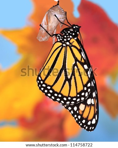 A beautiful autumn Monarch butterfly (Danaus plexippus) a few minutes after emerging from its chrysalis. - stock photo