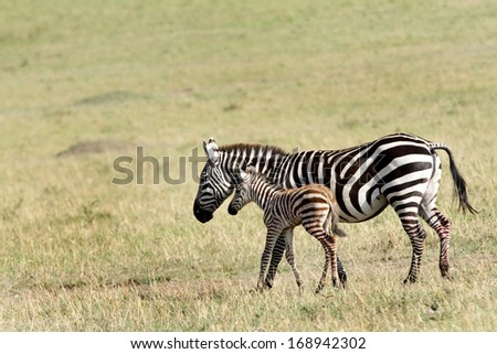 A beautiful baby zebra in mothers protection - stock photo