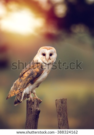 A beautiful barn owl (Tyto alba) perched on a tree stump during sunset. Wildlife photo. - stock photo