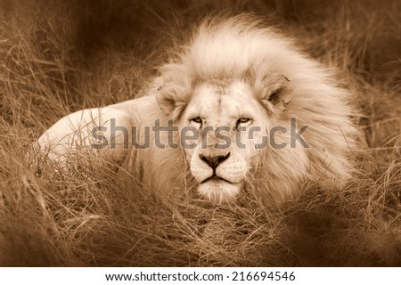 A beautiful big male white lion posing in the grass.