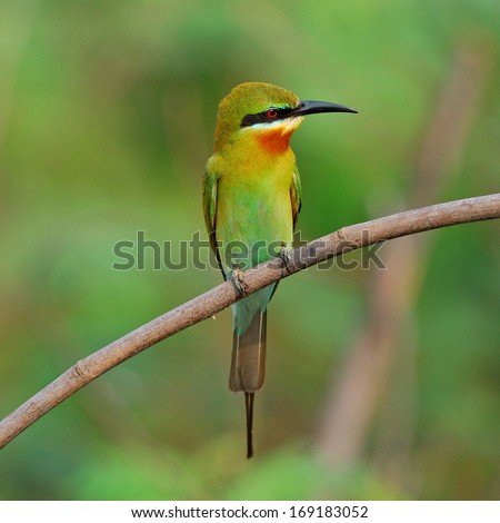 Bee-eater Stock Photos, Bee-eater Stock Photography, Bee-eater