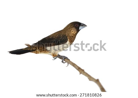 A Beautiful bird, male of White-rumped Munia (Lonchura striata) perching on a branch isolated on white background