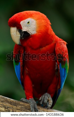 A beautiful bird Scarlet  Macaw.