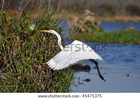 a beautiful bird takes off in flight - stock photo