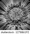 A beautiful black and white gerber daisy in dim lighting, showing off the complexity of the hundreds of its soft petals. - stock photo