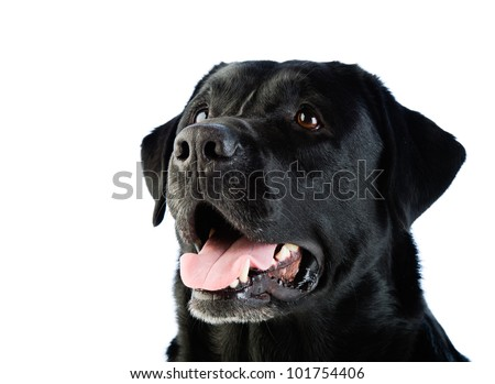 A beautiful black labrador dog with a friendly expression on his face.