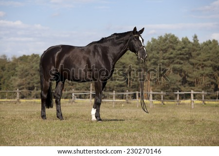 A beautiful black riding horse with a white blaze in front of blue sky
