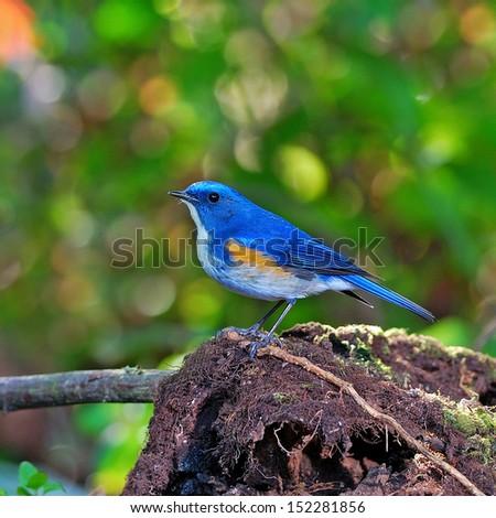 A beautiful blue bird, male Himalayan Bluetail. (Tarsiger rufilatus) - stock photo