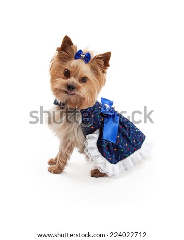 A beautiful blue patterned dress with bows on a very cute and attentive Yorkshire Terrier dog. - stock photo