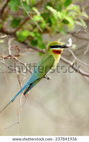A beautiful Blue tailed bee eater with moth - stock photo