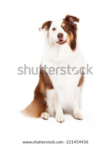 A beautiful brown, gold, and white border collie is sitting and looking into the camera.