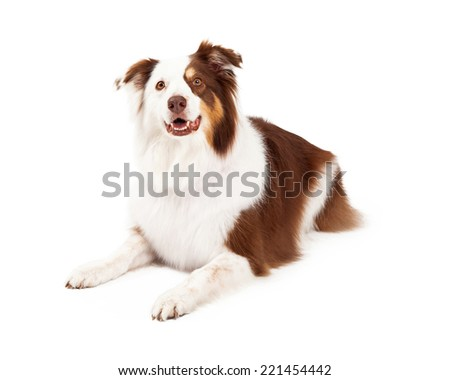 A beautiful brown, gold and white border collie laying down and looking into the camera - stock photo