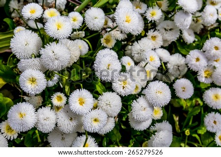 A Beautiful Bunch of Tiny Little White Button Flowers (Matricaria) in the Pacific Northwest. - stock photo