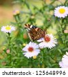 A beautiful butterfly collects nectar - stock photo