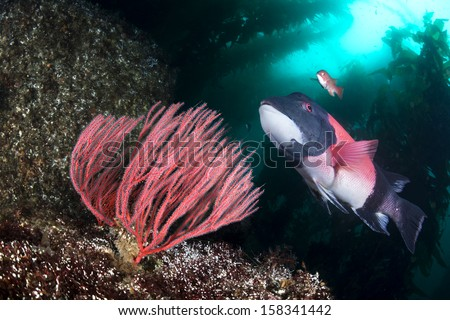 A beautiful California sheepshead fish swimming past a gorgonian sea fan in a deep kelp forest - stock photo