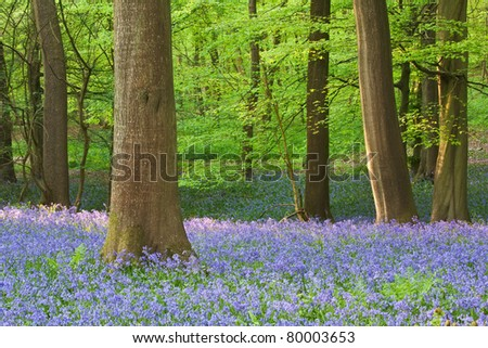 A beautiful carpet of bluebells in English woodland in spring. - stock photo