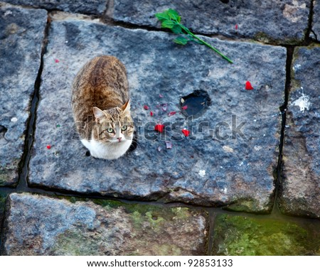 A beautiful cat looking at the camera next to a rose torn apart. Shallow depth of field on the cat's face. - stock photo