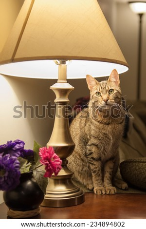 A beautiful cat sits on an end table and directly beneath a table lamp in a living room setting