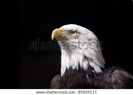 a beautiful close-up portrait of an American Bald Eagle with a black background.