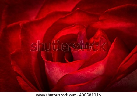 A beautiful closeup of a red rose with dramatic lighting. - stock photo