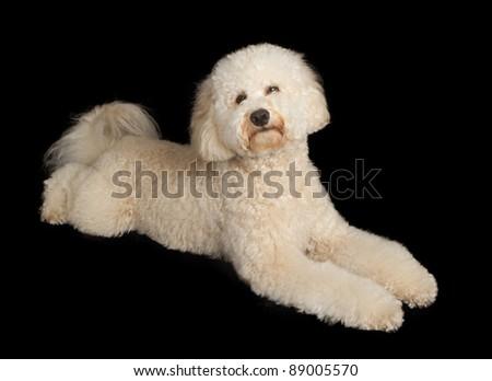 A beautiful cream color Labrador Retriever - stock photo