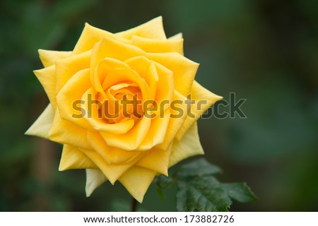 A beautiful deep yellow rose