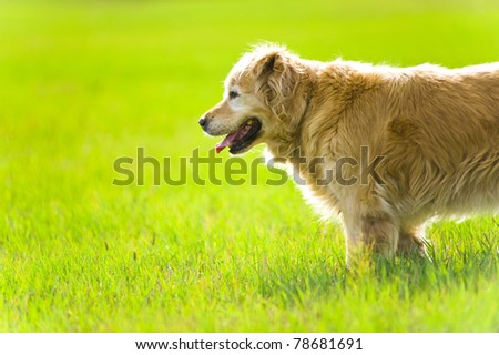 A beautiful, elegant, old, female golden retriever standing in a field in the evening sun light - stock photo