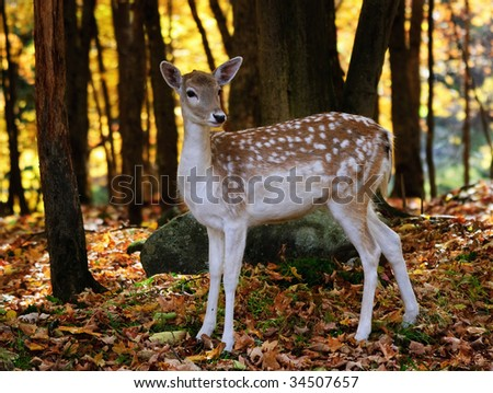 A beautiful fallow deer in a colorful autumn forest