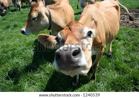 A beautiful female Jersey cow in pasture exploring the camera - stock photo