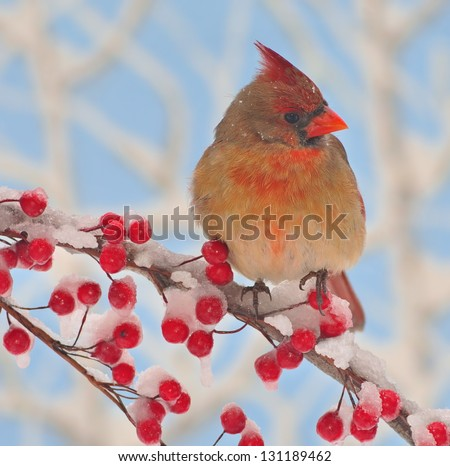 A beautiful female Northern Cardinal (Cardinalis cardinalis) on a snowy branch full of bright red berries.
