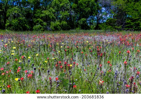 A Beautiful Field Blanketed with the Famous Bright Blue Texas Bluebonnet (Lupinus texensis) and Bright Orange Indian Paintbrush (Castilleja foliolosa) Wildflowers with Blue Skies. - stock photo