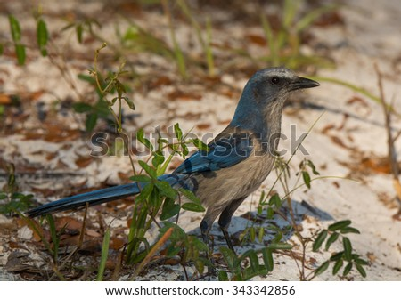 A beautiful Florida Scrub Jay, one of the rarer birds in North America, photographed foraging for acorns in the central Florida scrubland it calls home. - stock photo