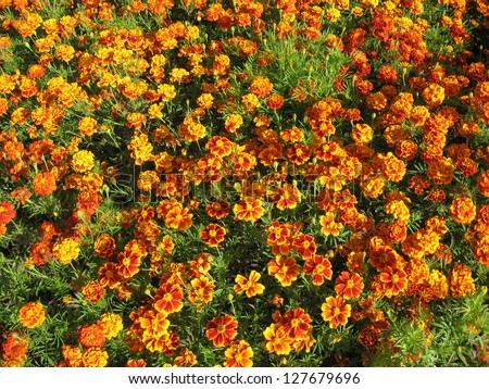 A beautiful flowers of motley and velvet tagetes