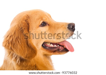 A beautiful, friendly Golden Retriever dog with a happy expression on his face. - stock photo