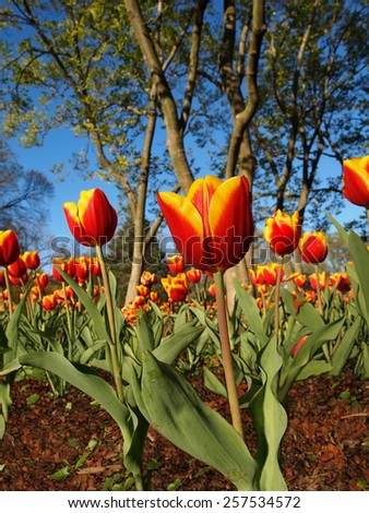 A beautiful garden display of red and yellow, variegated tulips in the springtime with a background of trees and vibrant blue sky. - stock photo