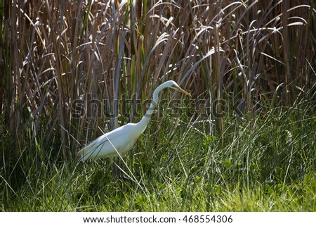 A beautiful graceful  white   Australian Great Egret (Ardea alba)  standing in the grassy field  in the Bunbury Big Swamp wetlands Western Australia  on a spring afternoon is hunting for a tasty feed.
